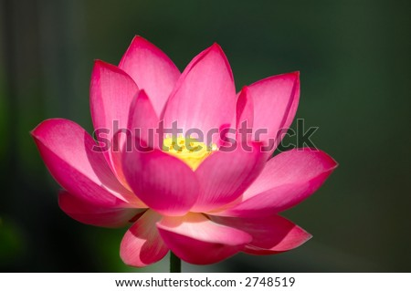 A blooming lotus flower of pink color over dark background