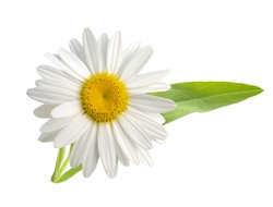 A blooming of white chamomile flower isolated white