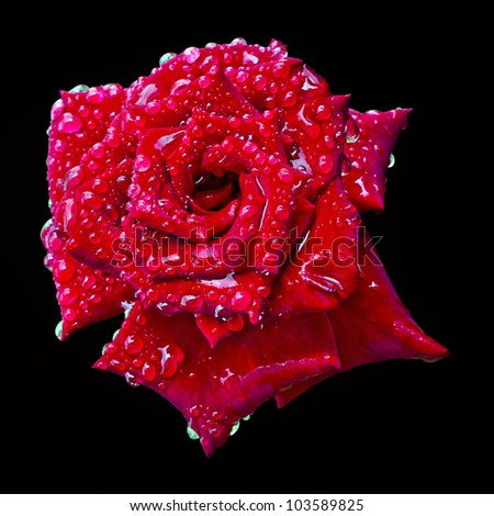 a blooming red rose bud in the drops of water on an isolated black background