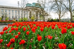 A blossoming red tulips in a city park in Sofia, the capital of Bulgaria, in the background is the building of Sofia University