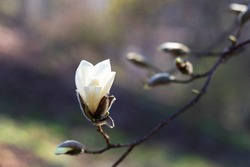 A blossoming white magnolia flower on a background of blurry branches with buds of magnolias and a green garden. There is a place for text.