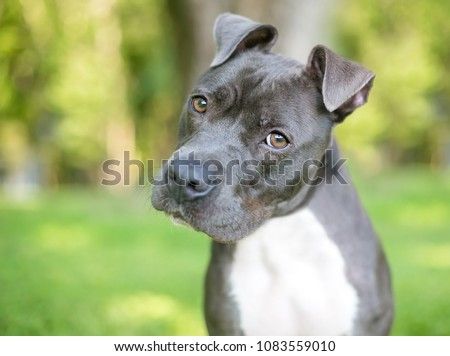 A blue and white Pit Bull Terrier mixed breed dog listening with a head tilt