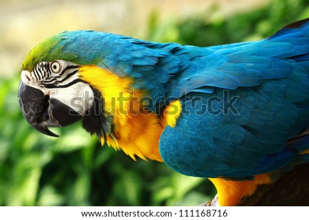 A blue-and-yellow macaw is eating sweet corn. Blue-and-yellow macaw is a popular as pets partly because of their striking appearance and ability as a talking bird.