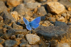 A blue butterfly sits on a rock. Insects in nature.