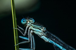A blue colored damselfly sits on the green leaf of an aquatic plant.