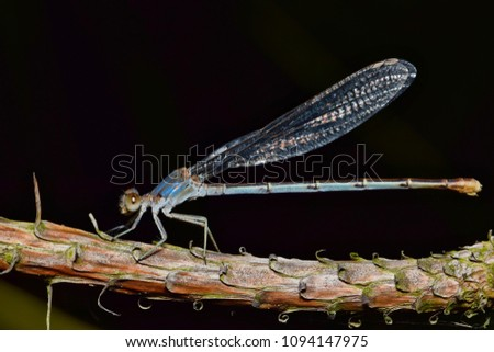 A blue damselfly asleep on a rough tree branch during the night. Smaller than dragonflies, damselflies (odonata) are voracious predators of smaller insects. #1094147975