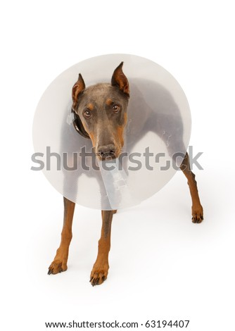 A blue Doberman Pinscher dog wearing a cone due to an injury. Isolated on white
