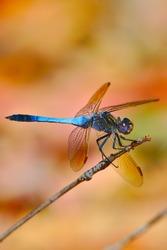 A blue dragonfly - portrait