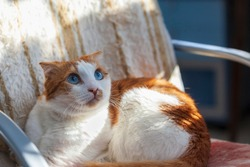 A blue-eyed cat on a tattered chair with an attentive gaze and a curled mustache. Selective focus, sun spots.