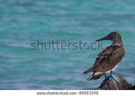 A Blue Footed Booby in the Galapagos