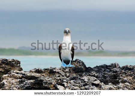 A blue footed booby sits on lava rock formations next to the island of Santa Cruz in the Galapagos #1292209207