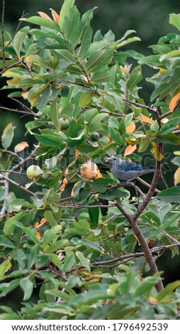 A blue-gray tanager eating a guaba fruit in a tree. Stock photo ©