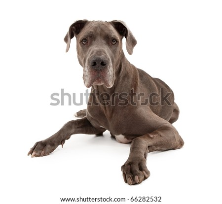 A blue Great Dane dog and isolated on white - stock photo