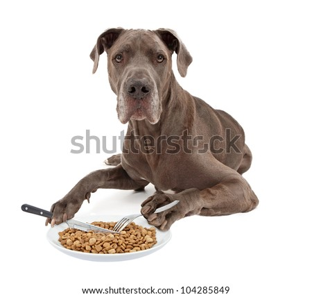 A blue Great Dane dog laying against a white background and eating a plate of food with a knife and a fork that he is holding in his paws