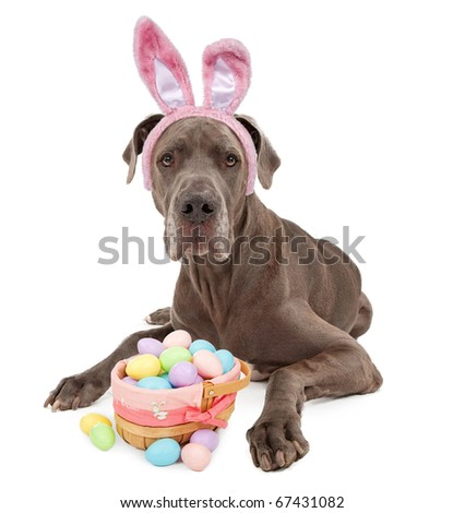 A blue Great Dane dog wearing bunny ears with a basket of Easter eggs. Isolated on white