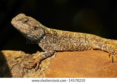 A blue headed agama lizard (bloukop koggelmander) basking on a rock in the late afternoon light.
