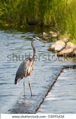 A Blue Heron on the Alabama gulf coast.