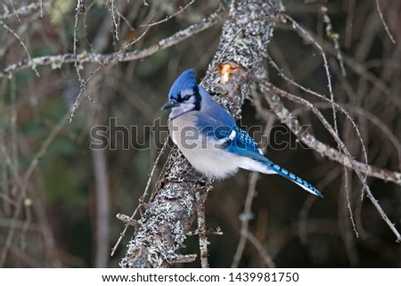 A Blue Jay, Cyanocitta cristata, perched on branch #1439981750