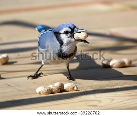 A Blue Jay eating a peanut on the patio deck.
