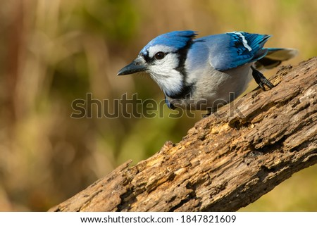 A Blue Jay is perched on a log looking intently to the left. Lynde Shores Conservation Area, Whitby, Ontario, Canada. Stock photo ©