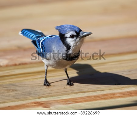 A Blue Jay looking for food on the patio deck.