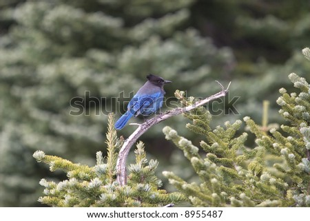 A Blue Jay poses on an evergreen tree on Mount Rainier in the winter.