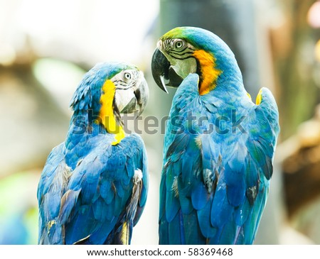 A blue Macaw communicating to each other.