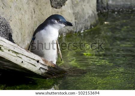 A Blue penguin.