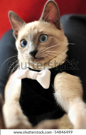 A blue-point siamese cat in a tuxedo taking a photo of herself/himself. It appears as if the cat is taking a photo of itself. - stock photo