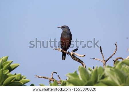 A Blue rock thrush rests on a branch and rests. Japanese name is ISOHIYODORI.