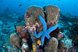 A blue seastar (Linkia laevigata) clings to a diverse coral reef near the Bunaken Marine National Park in North Sulawesi, Indonesia.