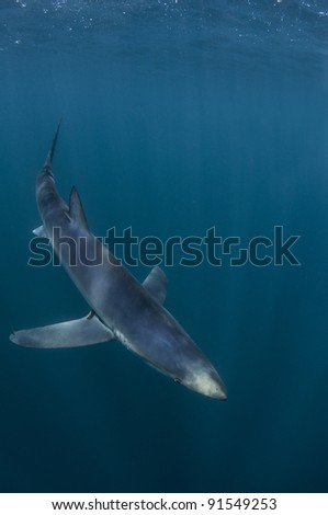 a blue shark heads for the depths of the ocean