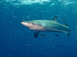 a blue shark (Prionace glauca) in Atlantic ocean near Pico (Azores Islands)