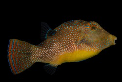 A blue spotted puffer fish and black background