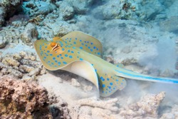 A blue-spotted Stingray on the bottom. Fish of the red sea.