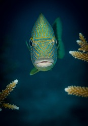 A Blue-Stripped Grunt: (Haemulon sciurus) poses for the camera, Buddy's Reef dive site, Bonaire, Netherlands Antilles