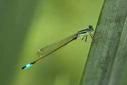 A blue tailed damselfly Ischnura elegans hanging onto a leaf. Detailed texture of its legs and webbed wings are visible (macro lens, close up image). It has a light blue mark at the end of its segment