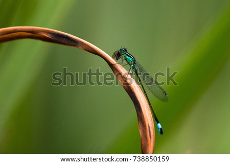 A blue-tailed damselfly perched on a dried reed over a pond, eating a fly. #738850159