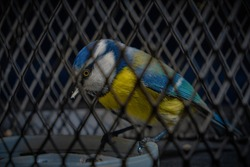 a blue tit in a cage, a bird in captivity as in a prison. Portrait of a beautiful tit close-up behind bars.