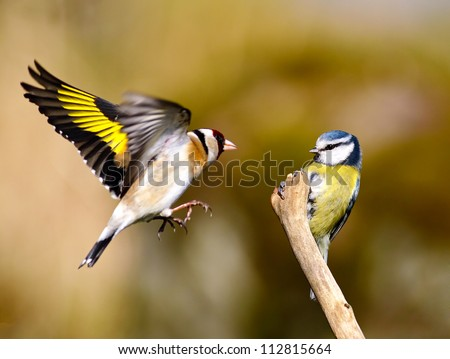 A Blue tit is perched on a bare stick as an annoyed Goldfinch fly's in and try's to displace the Blue tit from his perch