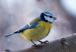 A blue tit seats on a branch with beautiful winter background and falling snow. Little bird in nature forest habitat. Wildlife scene from nature. Christmas card