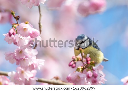 A blue tit sits on a beautiful branch with cherry blossoms. Wonderful spring feeling in beautiful pastel colors.