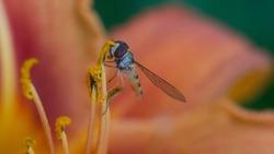 A blue wasp sitting on an orange lily flower