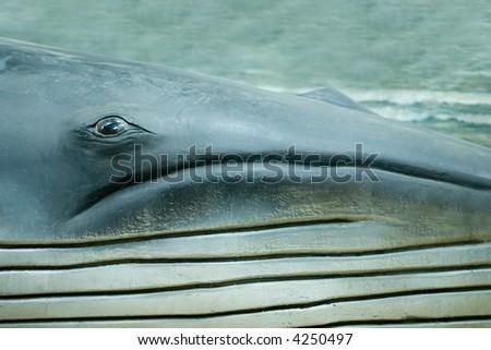 A blue whale/sperm whale