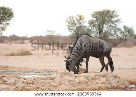 A blue wildebeest (Connochaetes taurinus) calmly drinking in dry grassland. Stock photo ©