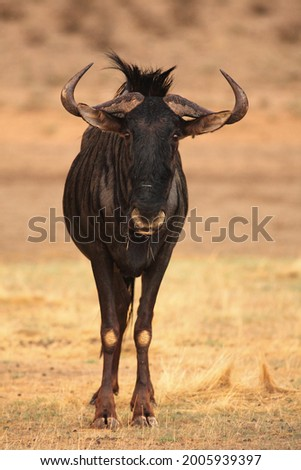 A blue wildebeest (Connochaetes taurinus) calmly staying in dry grassland. Stock photo ©