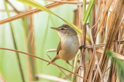 A Blunt-winged Warbler in the reed bed