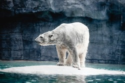 a blur of a big white polar bears, a wild big animal standing on the snow iceberg in frozen tundra zone zoo