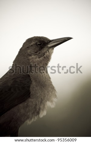 A boat-tailes grackle in the Everglads National Park (sepia).