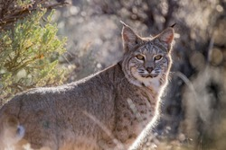 A bobcat gazes back at me from the safety of the sagebrush